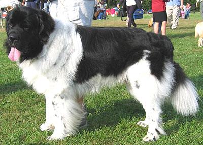 Newfoundland Dog Working Dog Breeds From The Online Dog Dogs In Depth Com