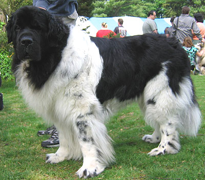 newfoundland dog - working dog breeds from the online dog encyclopedia ...