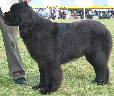 dog but he wasn t one of those he was a newfoundland big dog but very
