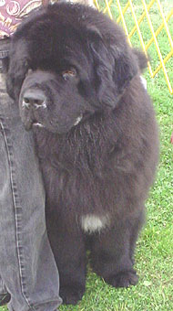 Newfoundland Dog Working Dog Breeds From The Online Dog Encyclopedia Dogs In Depth Com