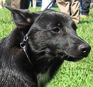 Norwegian Buhund Dog Working Dog Breeds From The Online Dog Encyclopedia Dogs In Depth Com