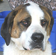Saint Bernard Dog Molossoid Dog Breeds From The Online