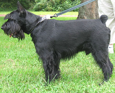 Are Schnauzers Good Family Dogs
