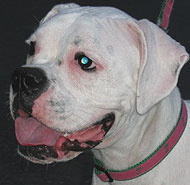 photo of white boxer dog